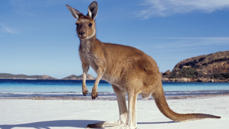 Australien - Meet the Kangaroos